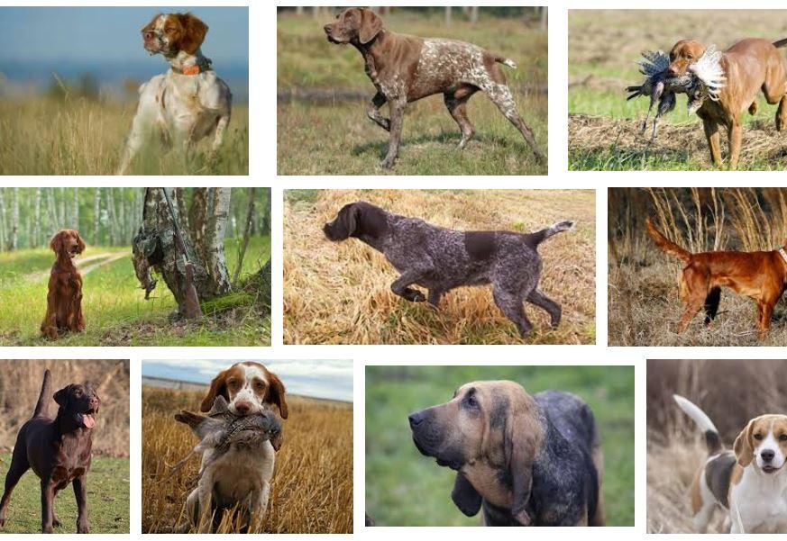 conseguir buen perro de caza notizalia
