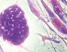 celulas madres fotos