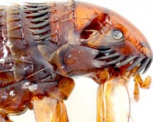 pulga de humanos