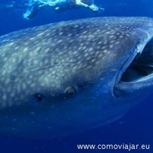 bucear tiburones ballena