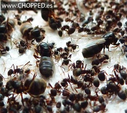 Eliminar hormigas remedios caseros con acido borico - Eliminar hormigas cocina ...