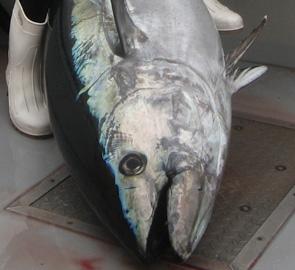 pesca concurso atun
