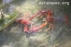 fotos cangrejo rojo
