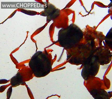 hormigas acido borico