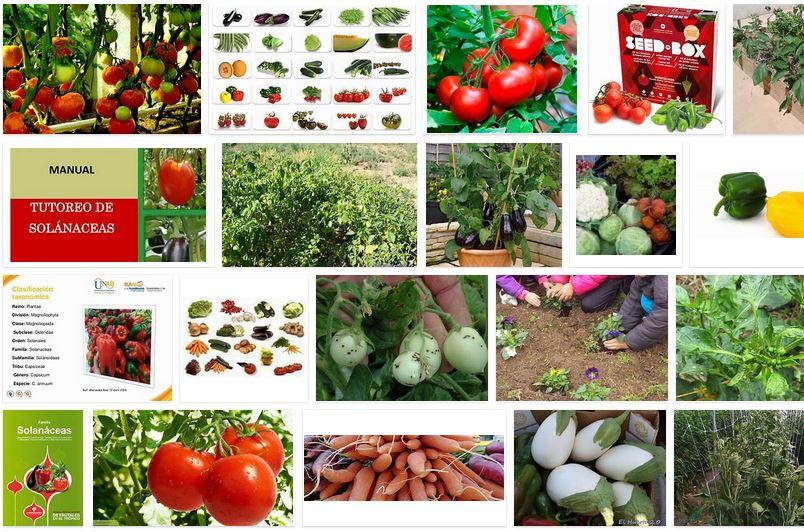hortalizas solanaceas
